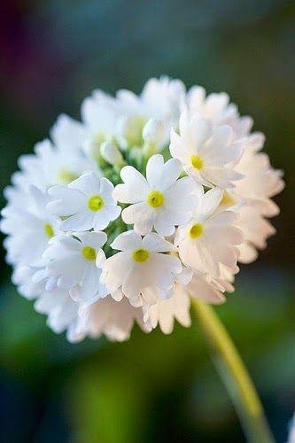 primula denticulata white