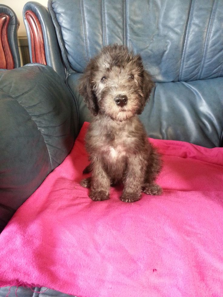 Bedlington Terrier Puppies | Bedlington Terrier Puppy