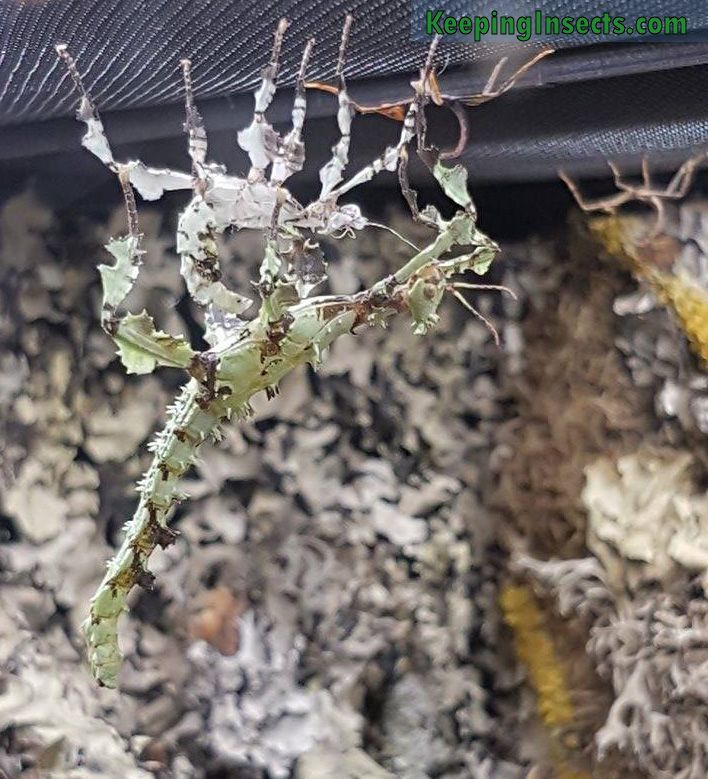 How To Get The Lichen Color Morph Of The Giant Prickly Stick Insect Extatosoma Tiaratum Keeping Insects Stick Insect Insects Lichen