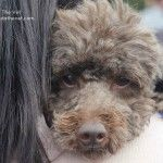 RSCPA Million Paws Walk in Sydney 2014 - lots of gorgeous dogs out and about! #Poodle