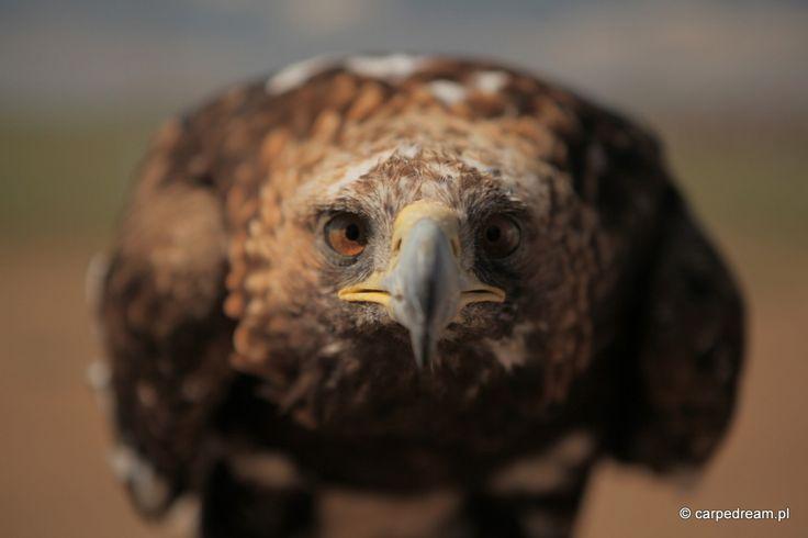 Mongolia eagle.