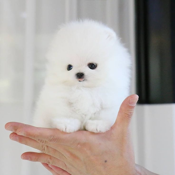 Pin on Rolly teacup Puppies