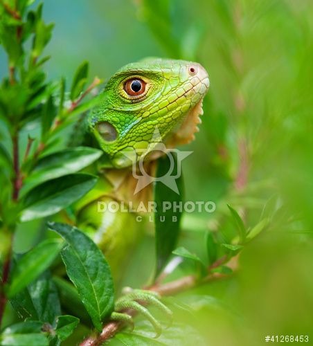 http://www.dollarphotoclub.com/stock-photo/Curious Iguana/41268453 Dollar Photo Club millions of stock images for $1 each