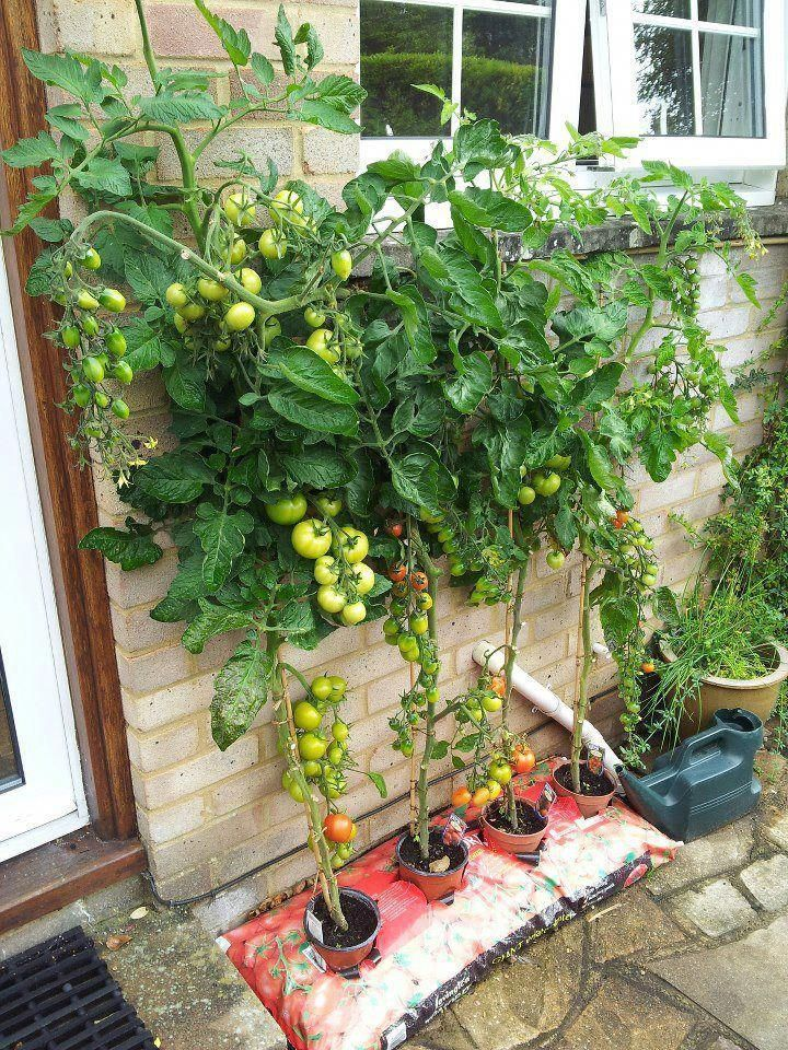 Secrets To Growing Tomatoes In Containers Vertical Vegetable Gardens Vegetable Garden Design Plants
