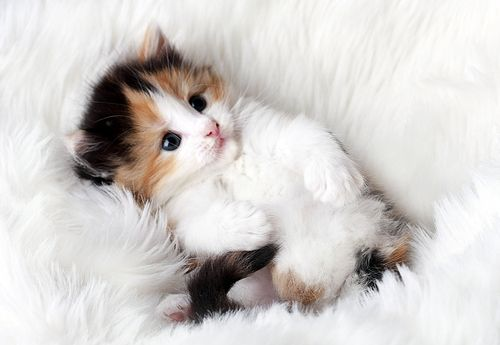 can I please have this kitten? Please * * SHE'S ASKIN' FUR MEH, BUT I BELONGS TO YOO. HURRY, GETZ ANOTHER KITTEH.""