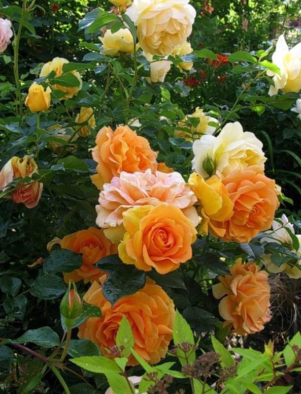Rose 'Goldelse'