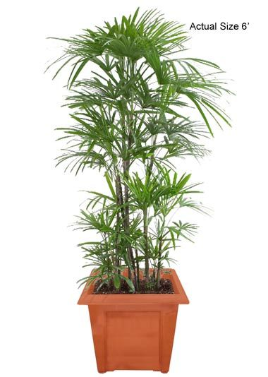 Lady palm house plant rhapis excelsa picture care for Maintenance of indoor plants