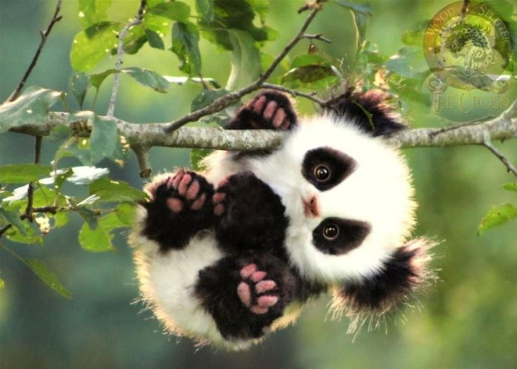 Adopt a panda baby in all legality! You can also adopt a koala baby or a young fox.