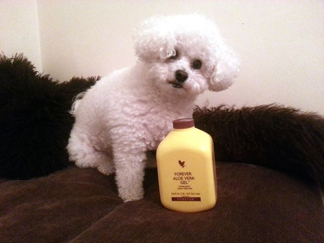 Riley loves his Aloe everyday.  So good for his joints and coat. Take a look at my new website  www.millers.flp.com