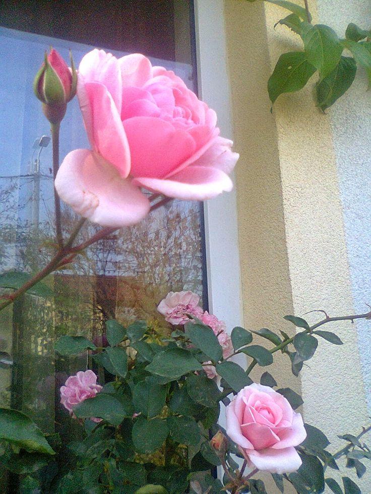 Adriana  Hobby: Trandafirul Schwanensee