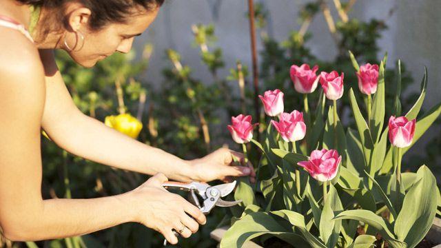 Wir sagen, wann Sie Ihre verblühten Tulpen am besten schneiden.