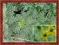 La ruda es una interesante especie desde el punto de vista medicinal. Se trata de una planta perenne con un tallo que engrosa año tras a...