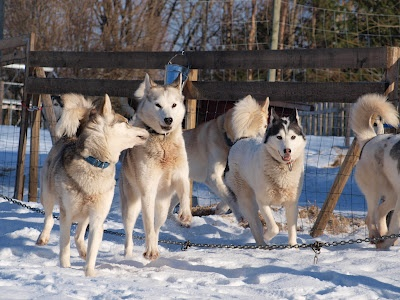 It´s important to let the sled dogs also just be dogs