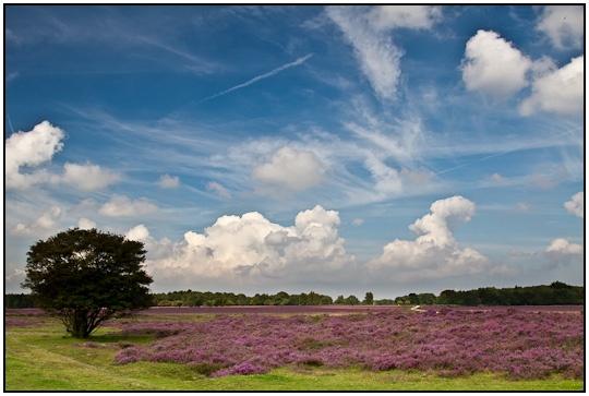 'Hilversumse heide' / Hilversum heath