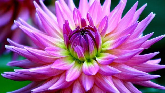 Dahlia Flower Desktop Hd Wallpaper Ii Free Download Beautiful Purple Dahlia Red Flower Beautiful Flower Names Dahlia Flower Flowers Names And Pictures