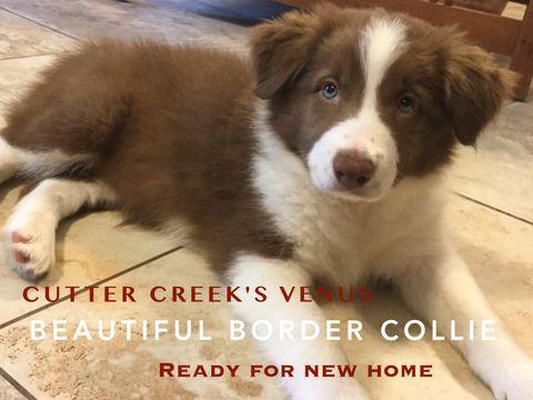 Border Collie puppy for sale in WILLS POINT, TX. ADN-28457 on PuppyFinder.com Gender: Female. Age: 9 Weeks Old