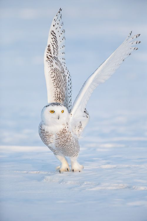 The Beauty of WildlifePhoto Series | Arctic Ghost SNOWY OWL BEAUTY