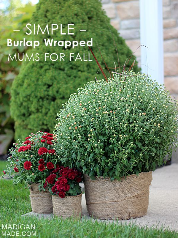 Fabulous idea for Fall Mum containers: wrap them in burlap!