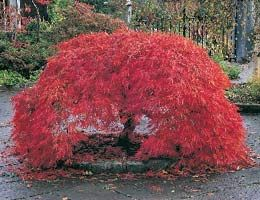 The Weeping Japanese Maple