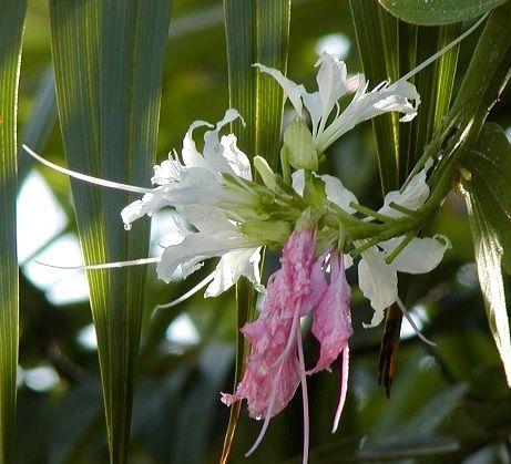 Bauhinia divericata bloom