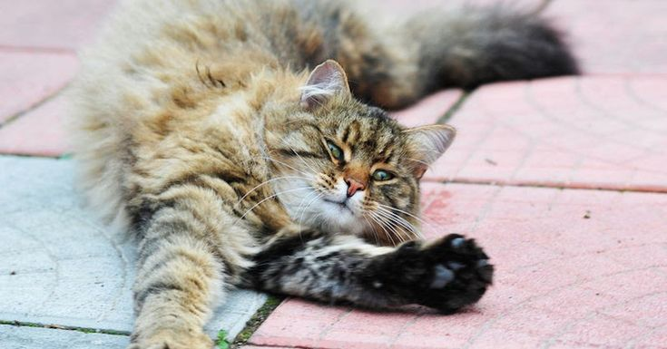 Kenapa Kucing Selalu Melakukan Peregangan? ~ Dokter Hewan