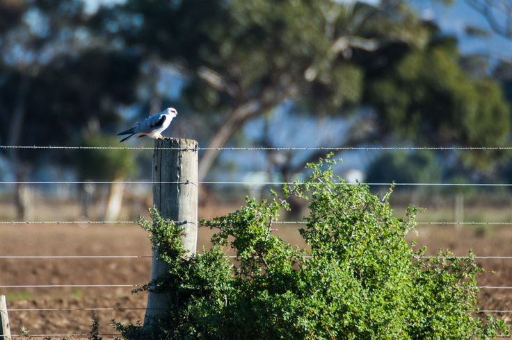 Black Shouldered Kite enjoying the sunshine.   #blackshouldered #kite #enviroassiduous #WTP #explore #travel #victoria #visitvictoria #nikon #tamron #australia #seeaustralia #visitaustralia #explorevictoria #exploreaustralia #thegreatoutdoors #ig_discover_australia #liveinvictoria #travelbible #travelfreedom #melbonpix #westerntreatmentplant