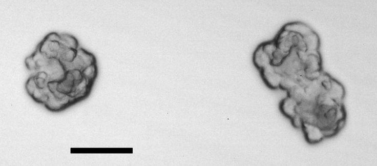 Oceanivirga salmonicida  [000.011.475]