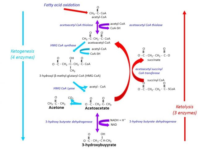 Figure 2. Ketogenesis and ketolysis pathways. Click for enlarged view. Fatty acid oxidation in liver mitochondria generates acetyl CoA. Under conditions of low glucose availability, the acetyl CoA cannot be oxidized via the TCA cycle because, in the liver, the oxaloacetate required for the first step (its condensation with acetyl CoA to form citrate), is unavailable being redirected to the process of glucose production (gluconeogenesis). Consequently the acetyl CoA is converted into ketone…