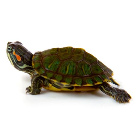 Baby red ear slider turtles for sale. Largest selection of captive breed baby turtles for sale. Fast Ups shipping anywhere in the United States.