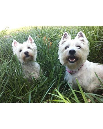 Westies are m0re Than dOgs, theY are my fav0riTe PeOple!