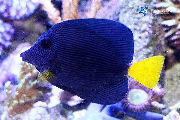 Purple Tang Zebrasoma Xanthurum In 2020 Fish Pet Purple Animals