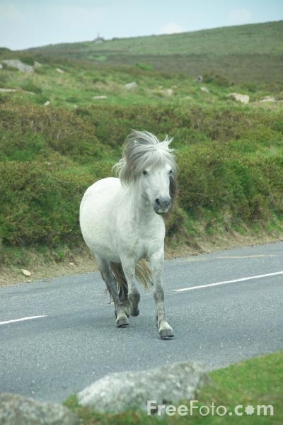 ...sometimes they cross the road to get to the other side.  Dartmoor pony in Dartmoor, Devon, England
