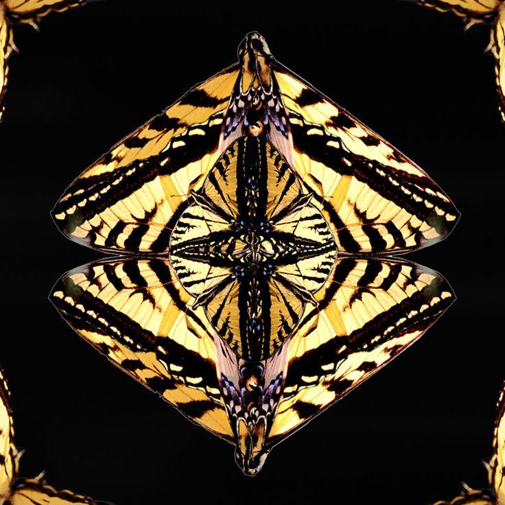 """""""Eye of Flight"""" - Swallowtail Butterfly"""