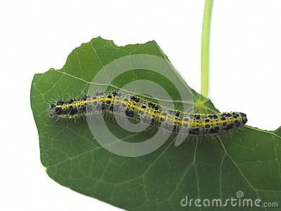 Close-up of green, yellow and black hairy caterpillar eating a nasturtium leaf. Found in Athens, Greece.