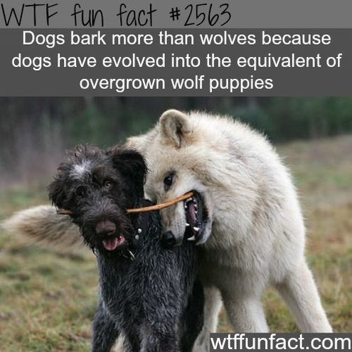 True WTF Facts About Wolves – 15 Pics