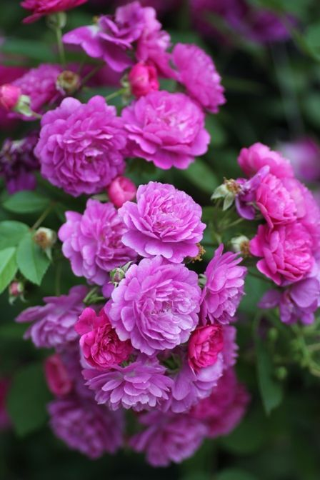 Sweet Chariot - Miniature, mauve, 55-60 petals, 1985, rated 8.4 (excellent) by…