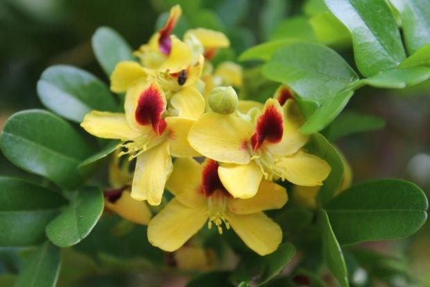 Flor do Pau-Brasil é mais um lindo presente da natureza ao nosso País