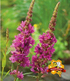 Blutweiderich,3 Pflanzen Lythrum salicaria Wasserpflanze Teichpflanze