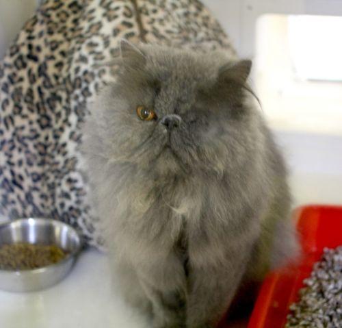 Persian cat rescue north west uk