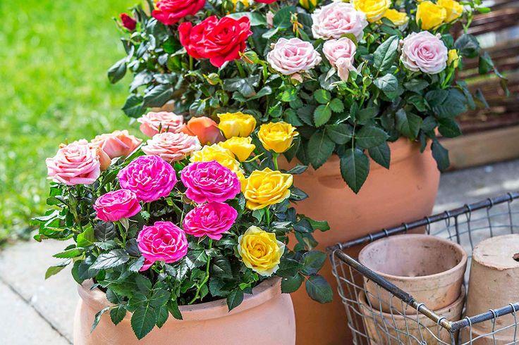 Miniroser er søde og populære stueplanter. Men vidste du, at de også er perfekte til krukkerne på terrassen? De er nærmest nemmere at passe ude end inde, og de blomstrer dejligt længe under åben himmel.
