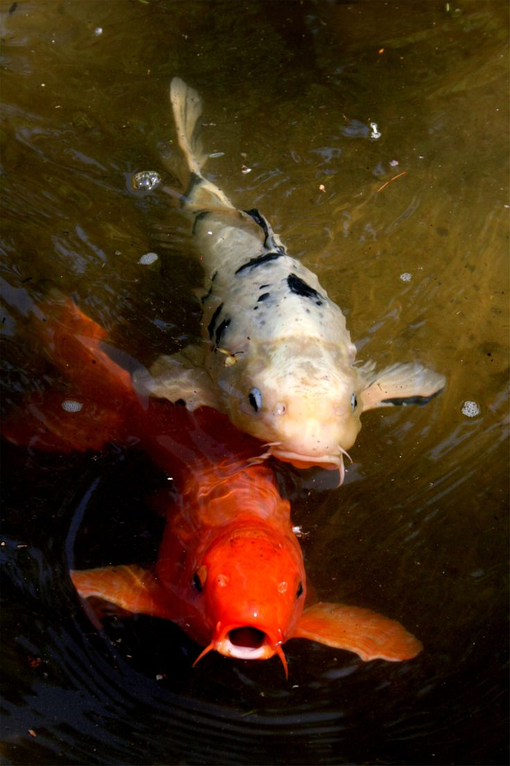 55 best koi images on pinterest pisces koi carp and for The best koi fish
