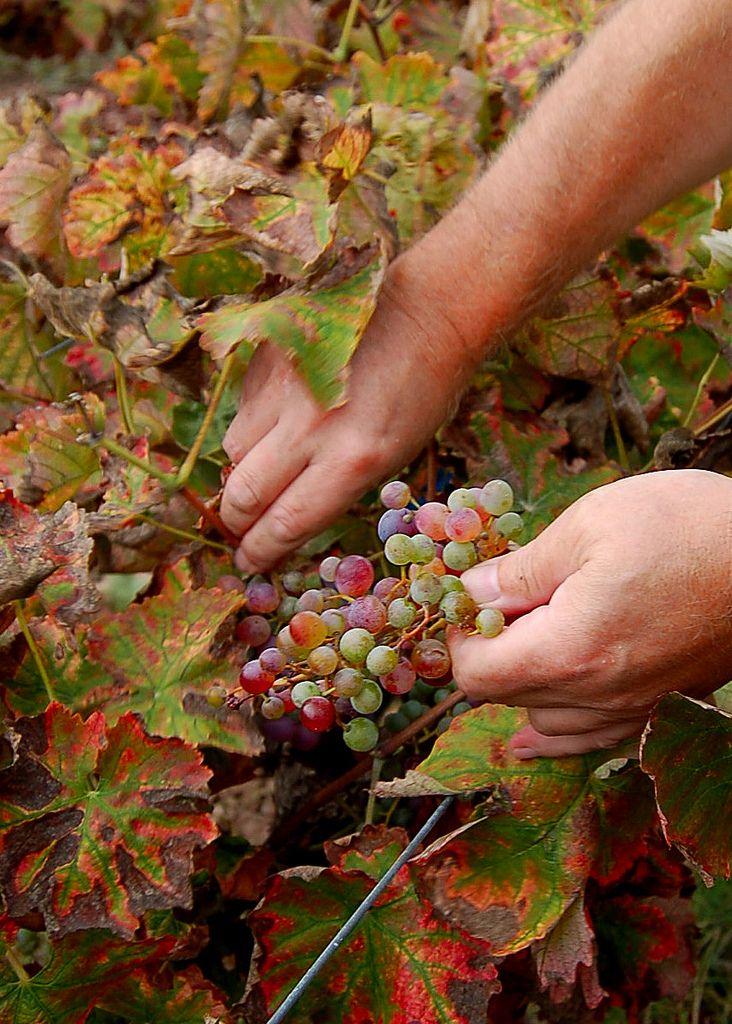 #Wine Harvest on the Greek island of #Crete
