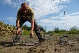 Ban poaching of ortolan buntings ( a sort of bird)  Interdire les braconnages des bruants ortolans