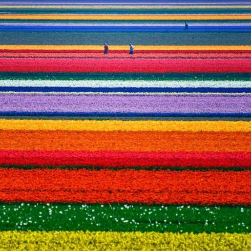 Tulip Fields in the Netherlands // or cabana stripes