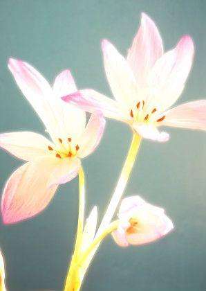 Light flower, herfsttijloos, Colchicum autumnale