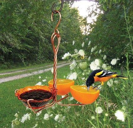 Baltimore and orchard orioles, bird feeder, oranges, grape jelly