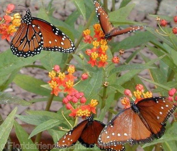 Is Tropical Milkweed Killing Monarch Butterflies?