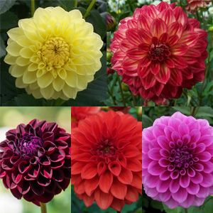 DAHLIA BALL COLLECTION - Garden Express