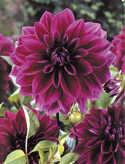 Van Zyverden Dahlias - Thomas Edison - Set of 5 Bulbs, Purple