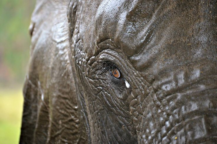 """""""They say that somewhere in Africa the elephants have a secret grave where they go to lie down, unburden their wrinkled gray bodies, and soar away, light spirits at the end.""""  One of the most beautiful experiences, is being in the presence of an elephant."""